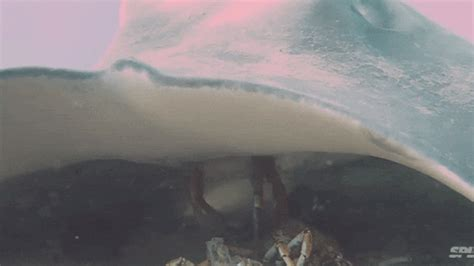 Seeing a giant stingray eat a crab is like seeing a UFO